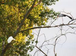 Mycteria ibis, Ardea alba