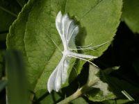 Pterophorus pentadactyla