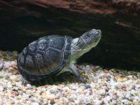 Żółw kasztanowaty (Pelusios castaneus)