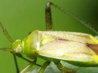 Neolygus spp.